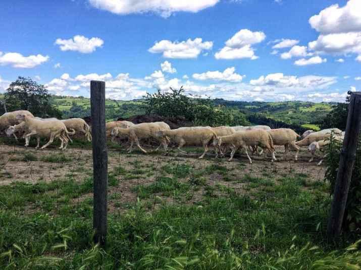 כבשים ב-Cascina Finocchio (צילום: מיכל לויט)